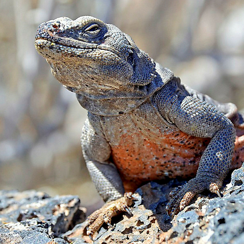Chuckwalla Iguana